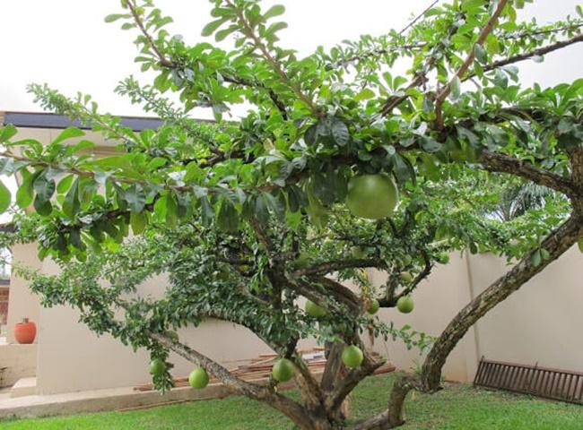 Cây Đào Tiên trồng trong nhà