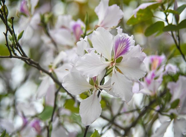Cây Hoa Ban trồng trong nhà