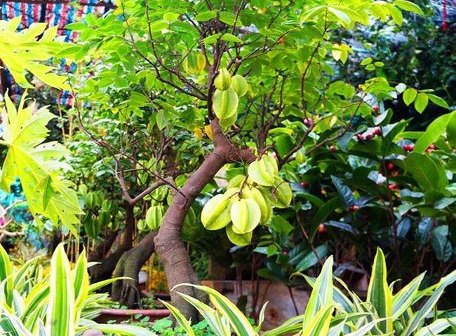 Cây Khế trồng trong nhà